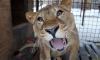 Дочь и мать воссоединились: в Ленобласти наконец-то познакомили львиц Эльзу и Симону