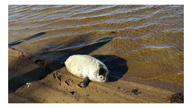 Бойцам Росгвардии пришлось спасать толстых тюленей, заплывших в водозабор ЛАЭС