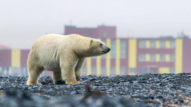 На Чукотке к селу пришли полсотни белых медведей