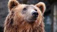 На Полюстровском рынке изъяли три шкуры медведя