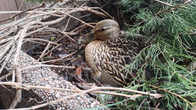 Кряква свила гнездо в клумбе около петербургской станции метро