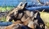 В Лодейнопольском районе браконьеры убили двух лосей, а после разделали их туши