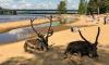 В Лапландии северные олени вышли на пляж из-за жары