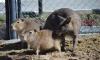 В сахалинском зоопарке кенгуру взял шефство над двумя маленькими капибарами