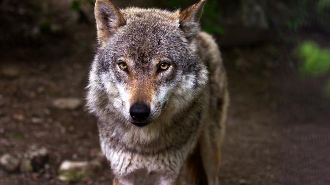 В Канаде волк напал на спящую в палатке семью