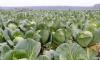 В Ленинградской области убраны первые тонны овощей