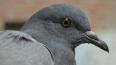 Смольный не хочет отстреливать голубей и просит горожан ...