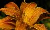 Ботанический сад представит необычные лилии