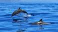 Ученые выяснили, что неандертальцы охотились на дельфино...