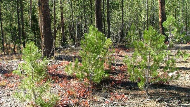 Более 500 саженцев деревьев высадят в Петербурге по разрешению ГАТИ