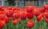 Петербургские школьникивысадят в Саду на Неве 10 тысяч тюльпанов