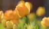 Петербургскиешкольники высадят в Летнем саду 4 тысячитюльпанов