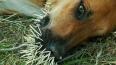 Одичавшая бойцовая собака больше месяца заперта в ...