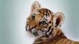 Годовалый тигренок погиб в Приморье после выстрела ...