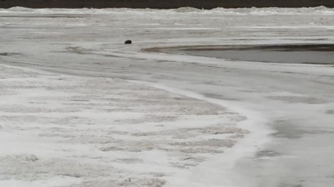 В центре Петербурга на льду заметили нерпу