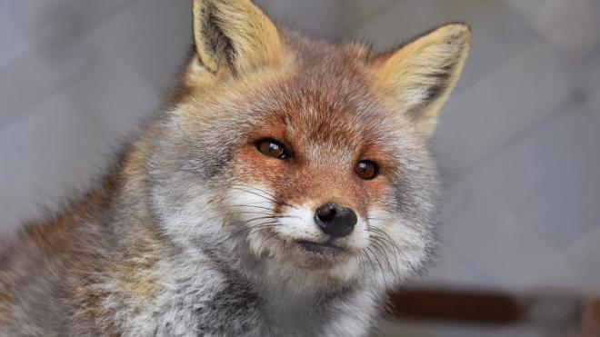 Дикие лисы стали выходить в Петербург с наступлением холодов