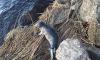 В Сосновом Бору спасли умирающего малыша-тюленя