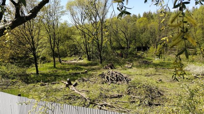 Петербуржцы заметили вырубку деревьев в Южно-Приморском парке