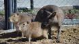 В сахалинском зоопарке кенгуру взял шефство над двумя ...