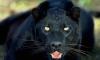 В Подмосковье пантера загрызла насмерть мужчину