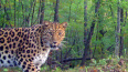 В Приморье фотоловушка сняла леопарда Катюшу с годовалыми ...