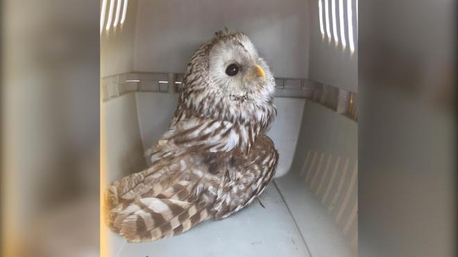 В Парке 300-летия Петербурга у мужчины забрали сову без хвоста и со сломанным крылом