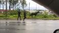 На Выборгском шоссе синяя иномарка сбила жеребенка