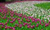Тюльпаны на Елагином острове не дождались начала фестиваля