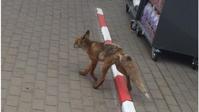 Выборжане встретили лису на одной из городских заправок