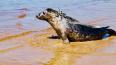 Спасённый в Петербурге тюлень побывал в Эстонии и ...