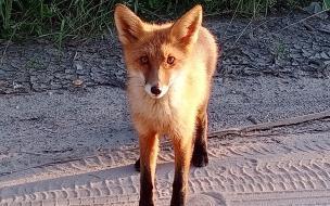 В Выборгском районе к людям снова вышла маленькая лисичка