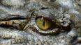 Ветеринары решили не выселять крокодила из подвала ...