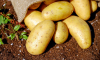Роскачество учит выбирать картошку