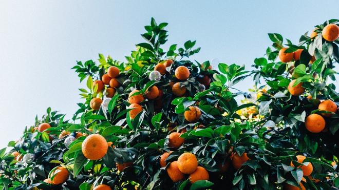 В Петербург из Аргентины привезли 42 тонны мандаринов с личинками мух