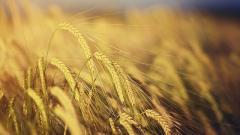 Экспортные компании остановили закупку российского пшеницы из-за высокой пошлины