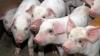 Полиция помогает свиноводам в борьбе с чумой