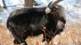 В сафари-парке рассказали, чем козел Тимур лучше депутат...