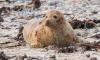 Массовая гибель тюленей в Финском заливе. Активисты бьют тревогу