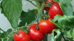 Россельхознадзор разрешил еще 12 предприятиям Азербайджана поставлять помидоры в РФ