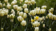 Знаменитый Фестиваль тюльпанов на Елагином острове ...