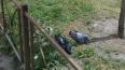 В Петербурге заметили стаю мертвых голубей