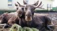 Водителей предупредили о ранней миграции лосей в Ленобла...