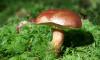 Эксперты рассказали о грибных местах в Петербурге и Ленобласти