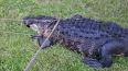 Во Флориде огромный аллигатор съел питбуля на глазах ...