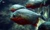 Рыбаки поймали опасных экзотических рыб в Алтайском крае