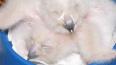 В центре хищных птиц Ленобласти появились три птенца ...