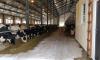 В Выборгском районе завершили строительство современного скотного двора на 440 коров