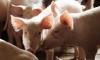 Онищенко винит в эпидемии африканской чумы свиней в РФ Грузию