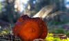 Под Петербургом нашли поляну краснокнижных грибов