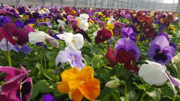 Аллеи Северной столицы украсят более 500 тысяч цветов
